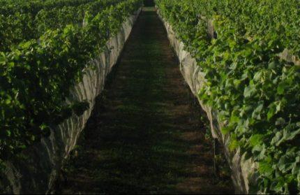 Wijngaard Brabantse Wal